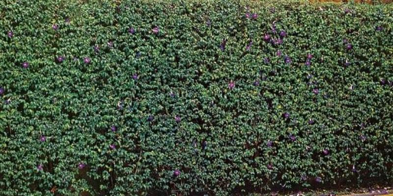 fornecedores/2019/03/tumbergia-arbustiva.jpg