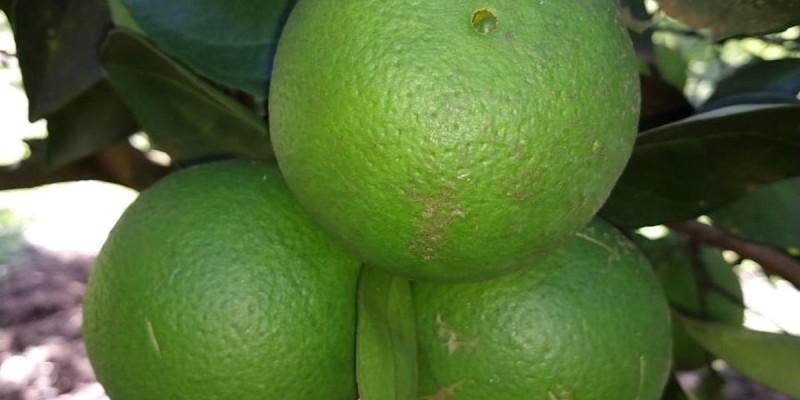 fornecedores/2019/06/laranja-baiana-de-umbigo.jpg
