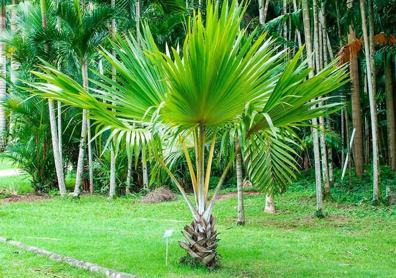 Palmeira Leque ou Licuala