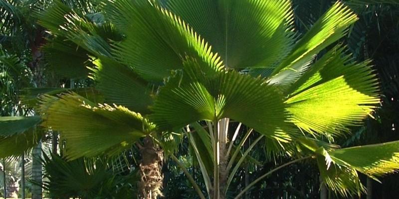 fornecedores/2019/08/palmeira-leque-ou-licuala.jpg