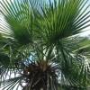 Palmeira Trinax