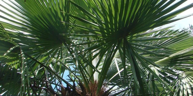fornecedores/2019/08/palmeira-trinax-easy-resize-com.jpg