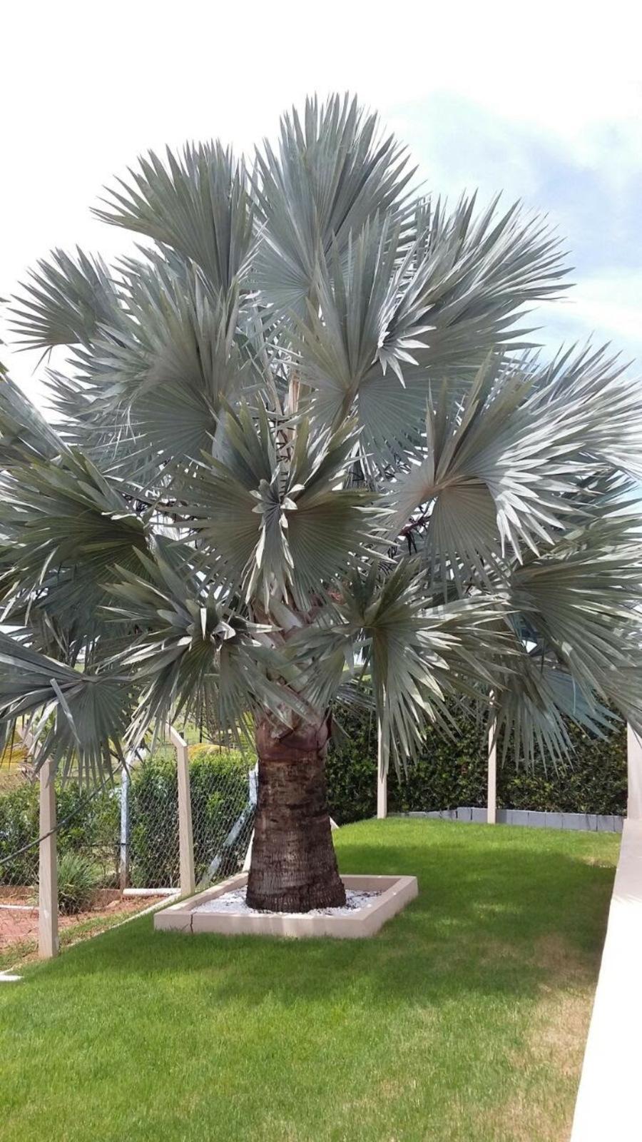 Palmeira Bismark (Palmeira Azul)