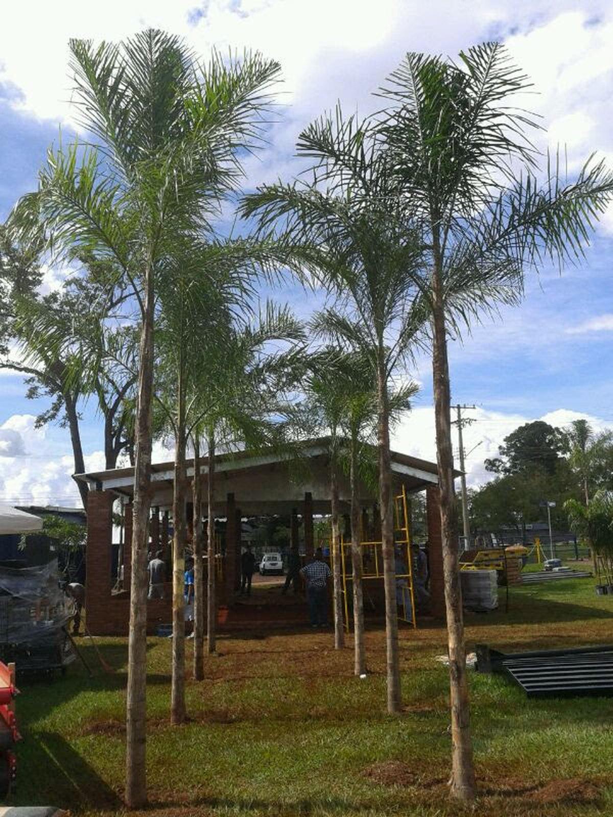 Palmeira Guariroba