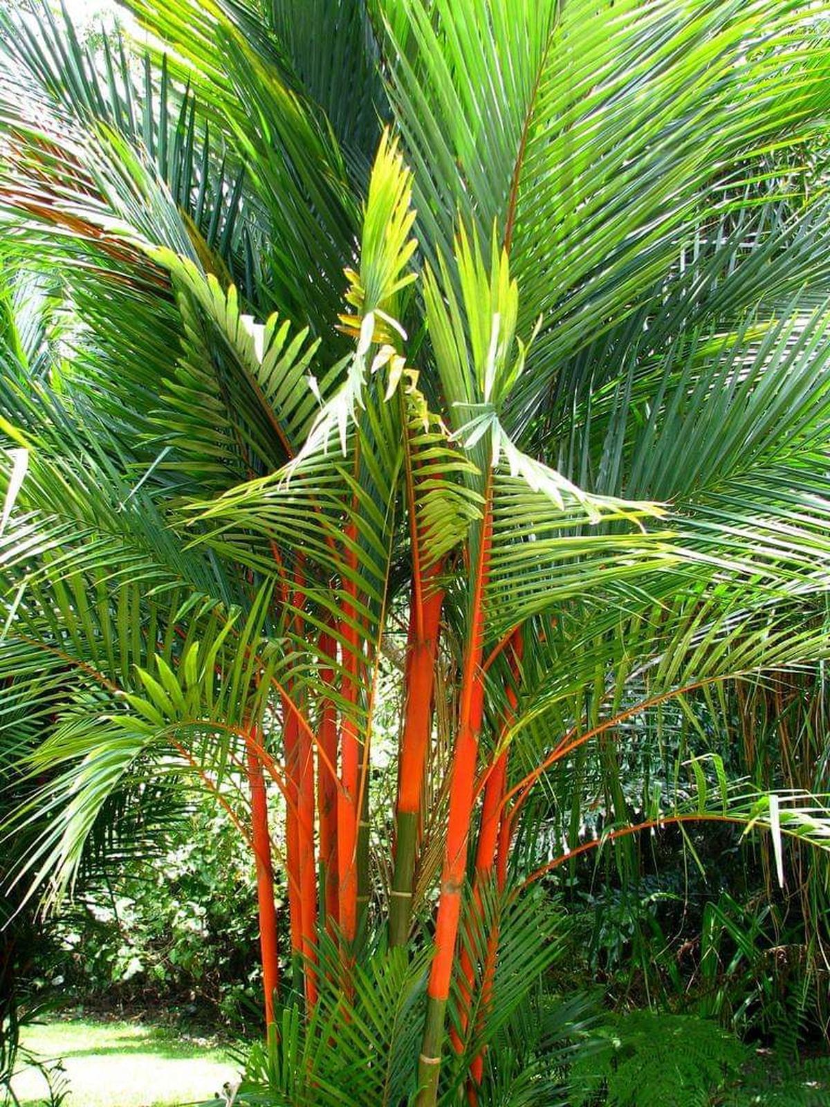Palmeira Laca