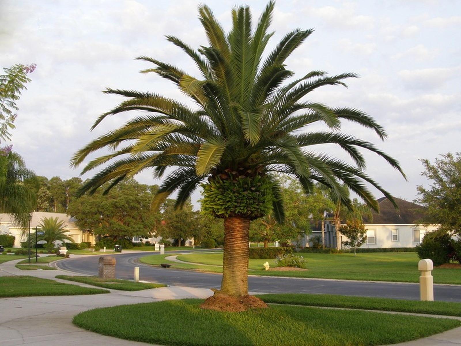 Palmeira Fênix Canariense
