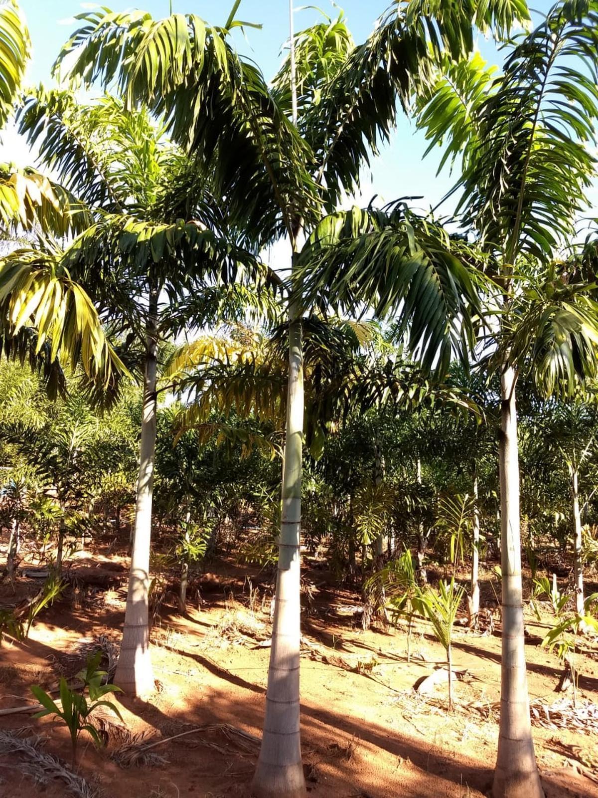 Palmeira Carpentária