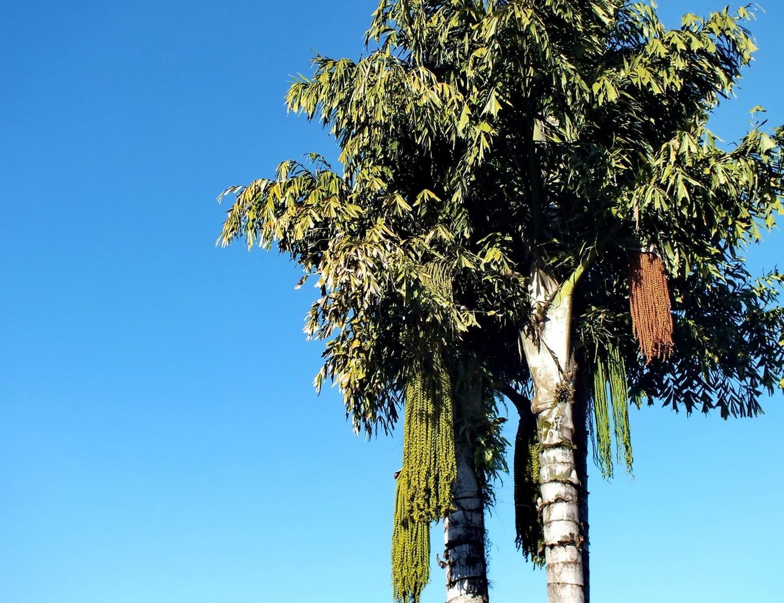 Palmeira Escariote ou Rabo de Peixe