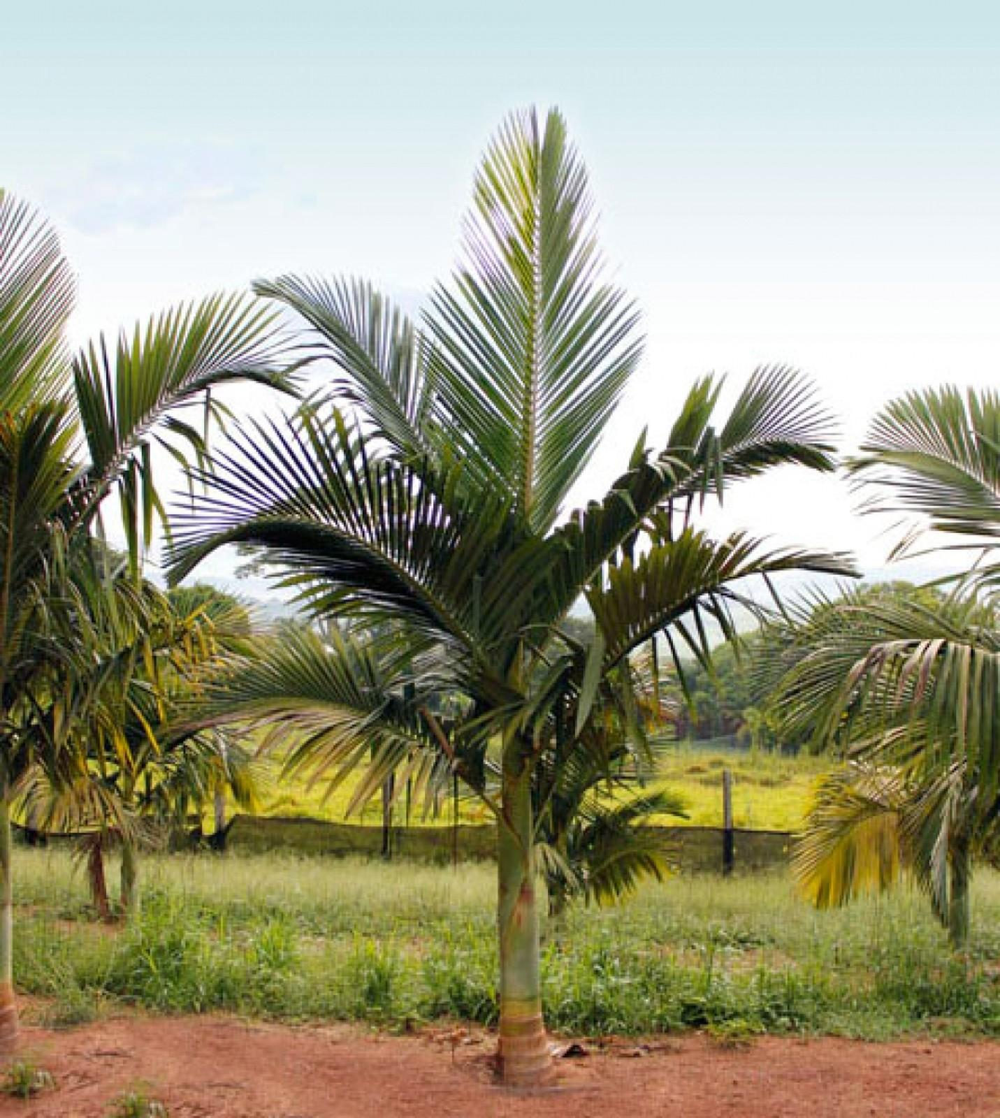 Palmeira Seafórtia