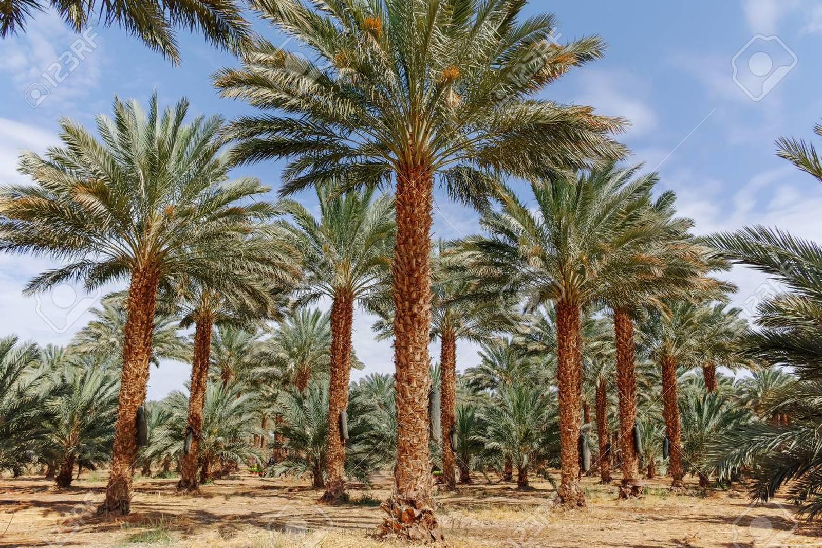 Palmeira Tamareira